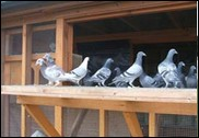 kessingland_pigeon_club